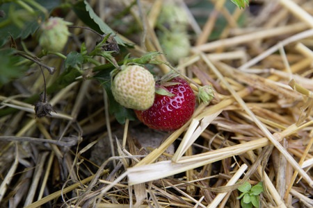 guerilla: bio self-sufficiency garden strawberry mieze schindler old sort Stock Photo