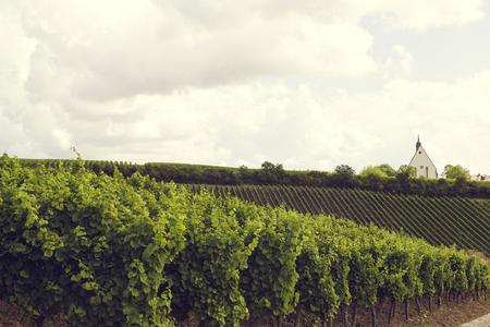 frisch und Landwirtschaft yineyards bio gesteuert Lizenzfreie Bilder - 64713108