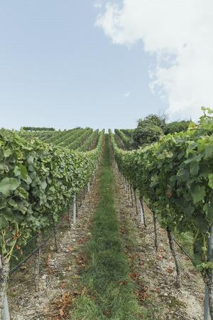 Frisch und Landwirtschaft yineyards bio gesteuert Standard-Bild - 64713111