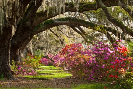 Charleston Plantation Vibrant Azalea, Mature Live Oaks, and Spanish Moss photo