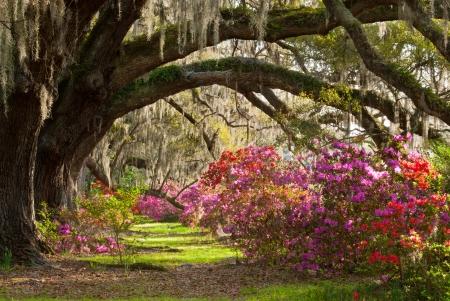 carolina del sur: Charleston Plantation vibrante Azalea, encinos maduros, y musgo espa�ol