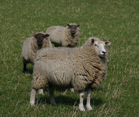 Овца Фото со стока - 367225