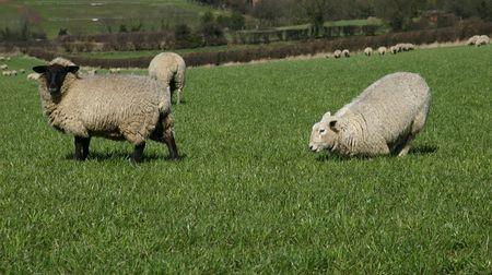 Sheep Фото со стока - 367228
