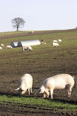 Pigs On A U.K. Pig Farm