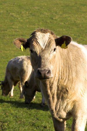 Cattle On A U.K. Farm