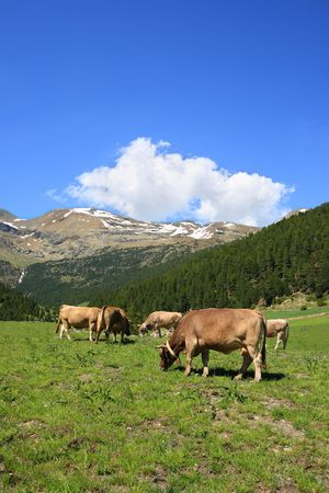 pyrenean: Cows in a field, in the pyrenean mountains in Andorra