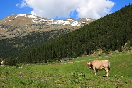 Cow in a field, in the pyrenean mountains in Andorra photo