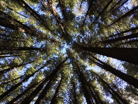 Tree canopy in a Sugar Pine forest