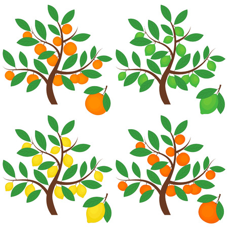 grapefruits: Vector citrus trees with oranges, lemons, limes and grapefruits Illustration