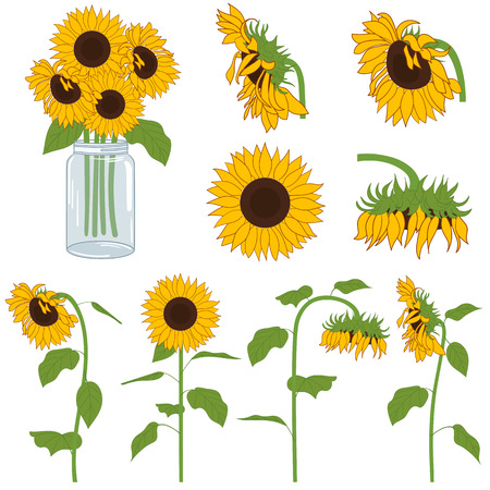 glass jar: Vector yellow and green hand drawn sunflowers set Illustration