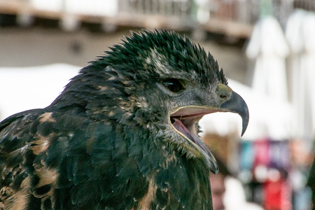 Black hawk with open beak, squawking to be tied