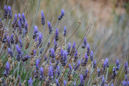 Lavender flowers in harmonic composition of light and color