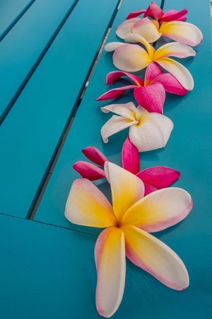 Beautiful plumeria or Frangipani flowers, white and pink online