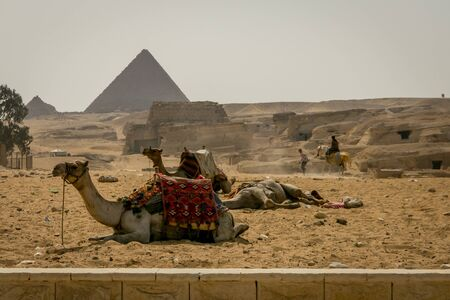 Camels resting in front of the Egyptian Pyramids