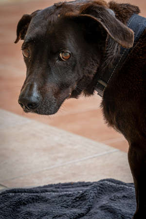 Portrait of elderly black dog looking calm