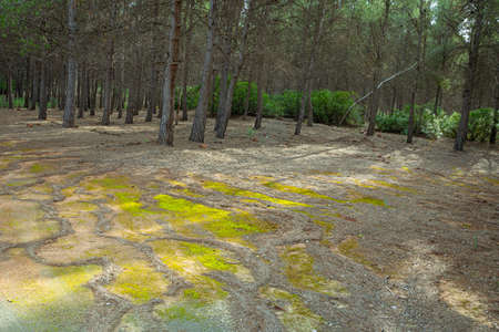 Path through pine forest in the region of Murcia. Spain.-