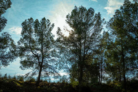 Pine trees overlooking the blue sky.-