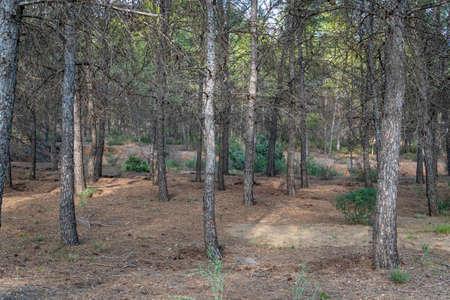 Mediterranean pine forest in the Murcia region. Spain.-