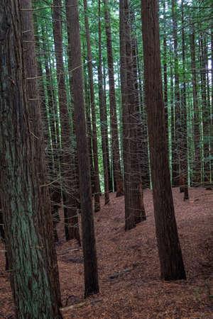 Natural Monument of the Secuoyas of Monte Cabezón. Cantabria. Spain Reklamní fotografie