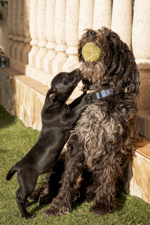 A large dog with a ball in his mouth and another puppy play together.