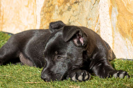 Two month old puppy with black hair resting in the sun on the grass Stock Photo