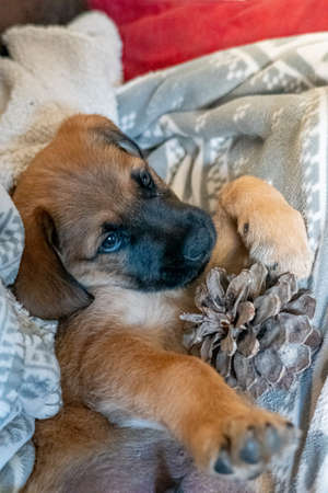 Two-month-old puppy with a pineapple between its legs.