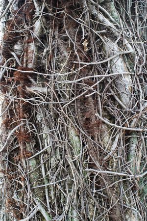 Tree trunk being strangled by vines and other vegetation. Great background.