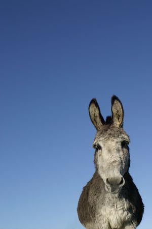 grosse fesse: Donkey Banque d'images