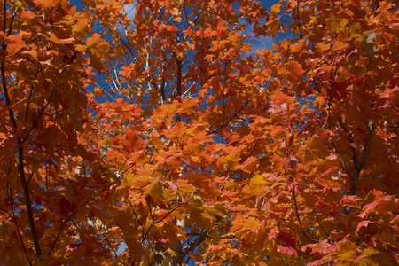 Orange and red maple tree in Fall photo