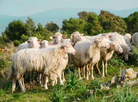 Sheeps of Sardinia photo