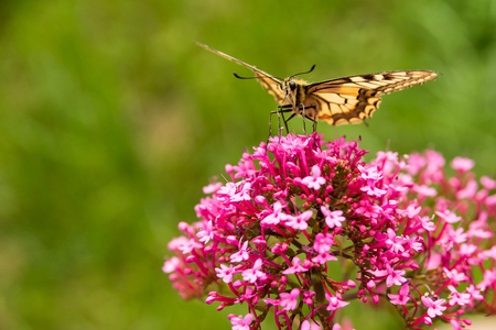 swallowtail: Swallowtail on the flower