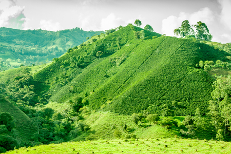 Deze afbeelding toont een koffieplantage in Jerico Colombia