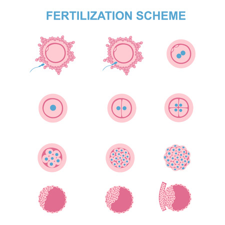 the phases of embryo development in the early stages Illustration