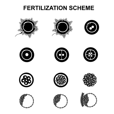 morula: the phases of embryo development in the early stages Illustration