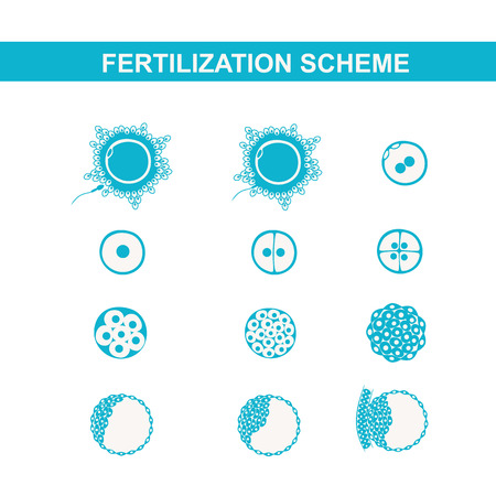 morula: schematic image of fertilization in mammals, the phases of embryo development in the early stages