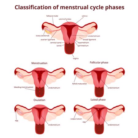sistema reproductor femenino: sistema reproductivo femenino, el esquema de �tero y los ovarios, la fase del ciclo menstrual Vectores