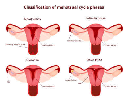 female reproductive system, the uterus and ovaries scheme, the phase of the menstrual cycle Vectores