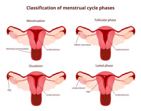 apparato riproduttore: sistema riproduttivo femminile, lo schema utero e ovaie, la fase del ciclo mestruale Vettoriali