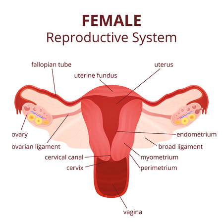 endometrium: female reproductive system, the uterus and ovaries scheme, the phase of the menstrual cycle Illustration