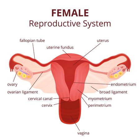 Weiblichen Fortpflanzungssystems, Der Uterus Und Ovarien Schema ...