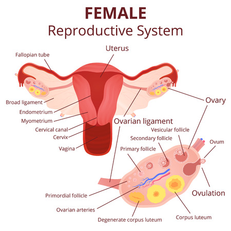 female reproductive system, the uterus and ovaries scheme, the phase of the menstrual cycle Ilustração