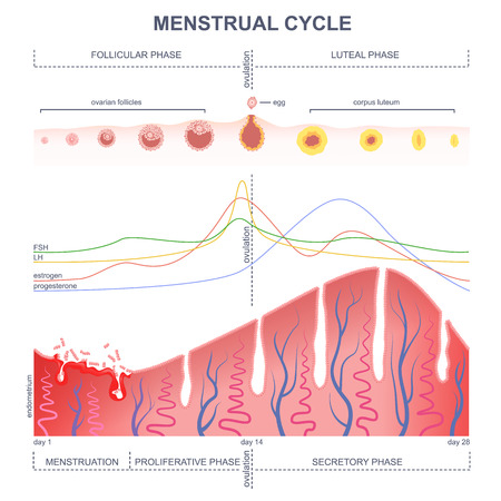 ovarian cycle phase, level of hormones female period, changes in the endometrium, uterine cycle Vectores