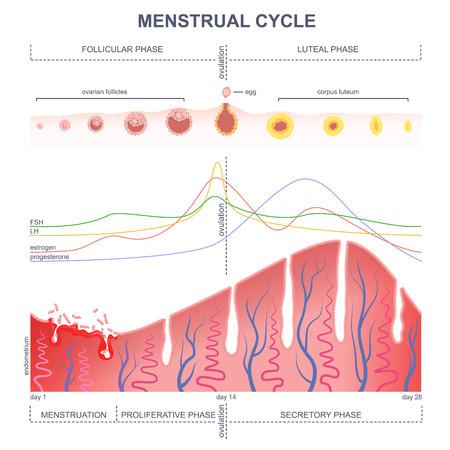 hormonas: la fase del ciclo ovárico, el nivel de hormonas femeninas periodo, los cambios en el endometrio, el ciclo uterino