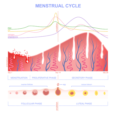 ovarian: ovarian cycle phase, level of hormones female period, changes in the endometrium, uterine cycle Illustration