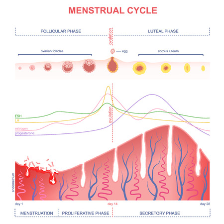 ovarian cycle phase, level of hormones female period, changes in the endometrium, uterine cycle  イラスト・ベクター素材