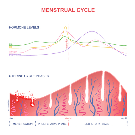 pms: level of hormones female period, changes in the endometrium, uterine cycle Illustration