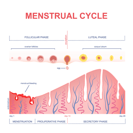 ovarian: ovarian cycle phase, changes in the endometrium, uterine cycle