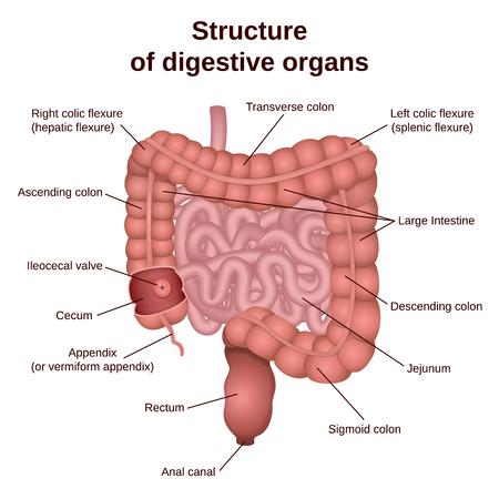 circuitstructuur van het spijsverteringsstelsel, colon en dunne darm