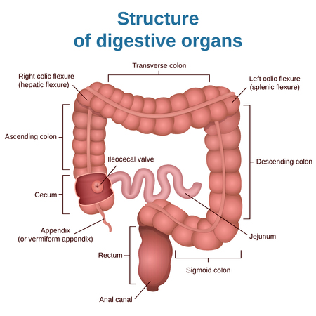 small intestines: circuit structure of the digestive system, colon and small intestine