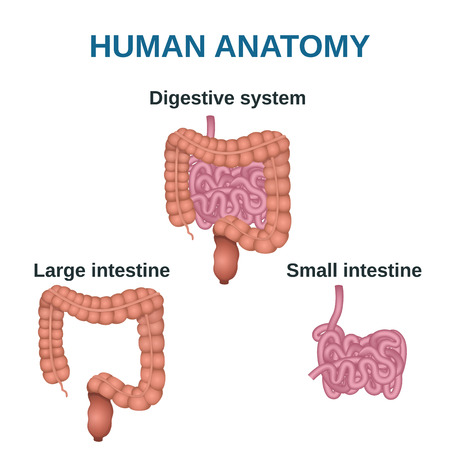 small bowel: circuit structure of the digestive system, colon and small intestine